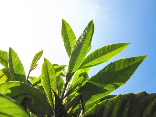 ビワ葉の成分と効果